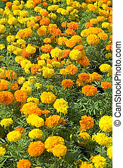 marigolds - A flowerbed of orange and yellow marigolds
