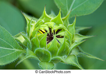 Sunflower Bud - A bud is about to burst into a sunflower