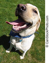Jack the dog - A big yellow lab with a smile