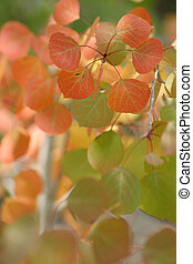 Red Aspen Leaves - Beautiful red and green Quaking Aspen...