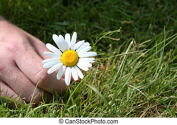picking a daisy - a hand picking a daisy. with focus on the...