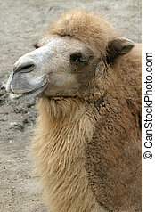 Camel Smiling - A close up portrait of a happy looking...