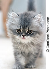Furry Kitten - Furry persian kitten