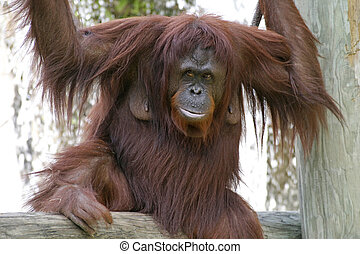 Female Orangutan - A female orangutan, perched on a tree...