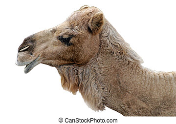 Happy Camel Isolated - A profile portrait of a happy looking...