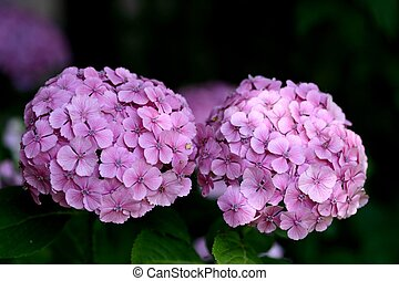 Hydrangea - Hortensia in garden