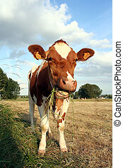 cow and grass - cow eating grass