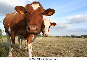 2 cows curiously looking at the camera