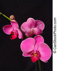 Perfect Pink Orchids - A sprig of hot pink orchids against a...