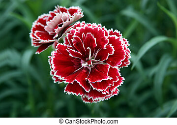 Red and White Carnation - Very popular flower for a prom or...
