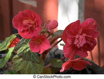 Pink Begonias - Dark Pink Begonias