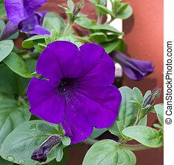 Purple Petunia - A deep purple Petunia