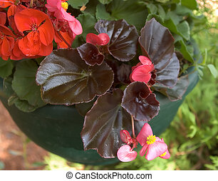 Wax Begonia - A hanging basket with a Wax Begonia
