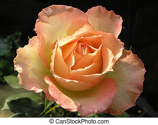 peach rose - photograph of a very elegant multi colored...