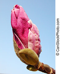 Pink Magnolia Bud - Pink magnolia bud over the blue sky