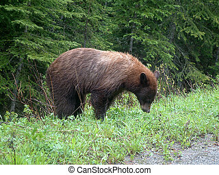 black bear 2 - Black bear in Waterton National Park,Canada