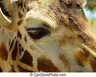 IM WATCHING YOU - THIS IS A GIRAFFE LOOKING OVER THE...