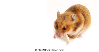 hamster stuffing cookie into his cheeks