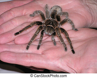 For you - Man holding or offering tarantula