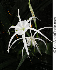 Spider Lily Hymenocallis sp against dark background