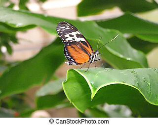 Tiger Longwing - Common Tiger Longwing, or Hecales Longwing...