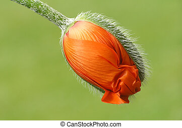 Orange poppy - Close-up of orange puppy unfolding the first...