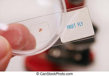 mosca, fruta