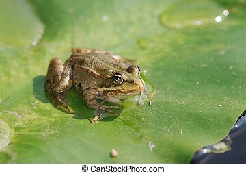 Pool Frog - A rana lessonae on a lily pad