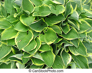 hosta background - the yellows and greens of hostas leaves