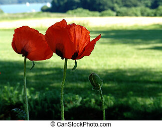 giant poppies - summer in northern germany