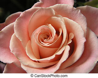 champagne rose - photograph of a very beautiful champagne...
