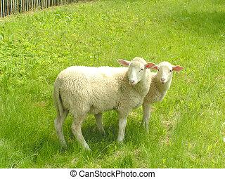 mouton, #3