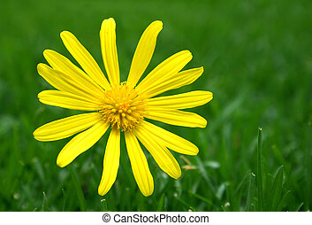 Daisy on green - Yellow flower with grass green background