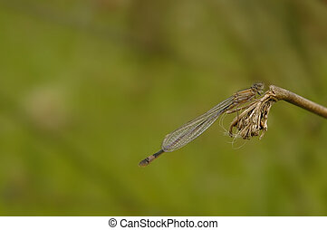 Damsel Fly - Female damsel fly close up