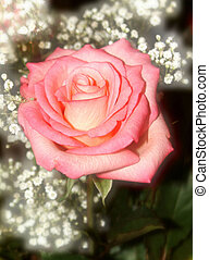 rose and gypsophila with a softfocus at the back