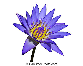 Purple Water Lily - a vivid purple water lily, isolated...