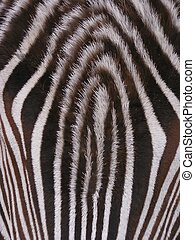 Zebra - Detail of a zebra skin