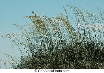 Sea Oats - Photographed at Jetty Park, Florida