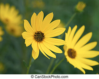 Brown Eyed Susans - closeup of two yellow daisies in a field...