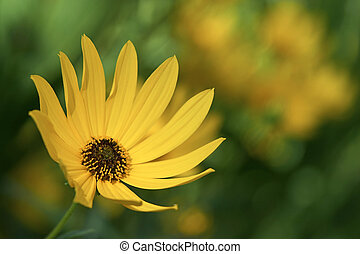 Brown Eyed Susan - a bright yellow daisy growing in a field.