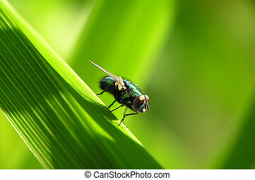 Fly on a leaf - Close-up of a fly sitting on a leaf -...