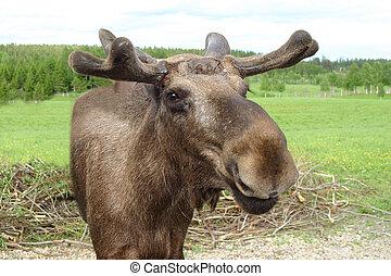 talande,  Moose