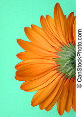 Flower from below - Gerbera isolated from below on green