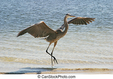 Blue Heron Landing - a blue heron, with wings outstretched,...