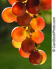 Red grapes - transparent and with green background