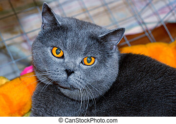 Cheshire cat - British Blue Shorthair Cat