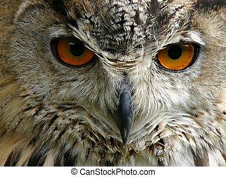 Night Owl - Close up of an owl