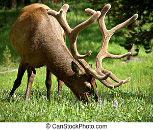bull elk - a bull elk grazing in yellowstone national park