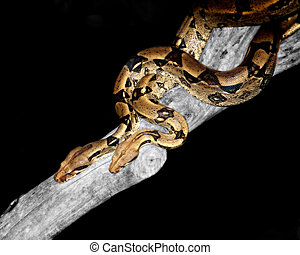 mingling pythons - two large pythons gracefully making their...