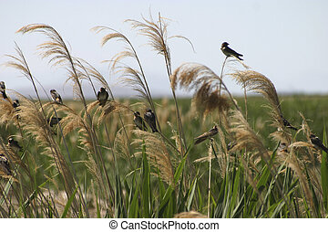 Swallows n Reeds - Cliff Swallows resting in the reeds on...
